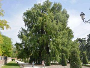Este ejemplar situado en el Parque del Retiro es famoso por ser el árbol más antiguo de Madrid. O al menos eso dicen algunos botánicos e historiadores. El árbol en cuestión se encuentra muy cerca de la puerta de Felipe IV, con entrada desde la calle Alfonso XII.