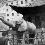 """Elefanta """"Julia"""", años 60"""