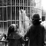 Oso polar en su jaula circular con osera y ducha, años 60