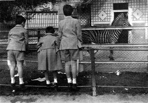 Niños observando a una cebra, años 50
