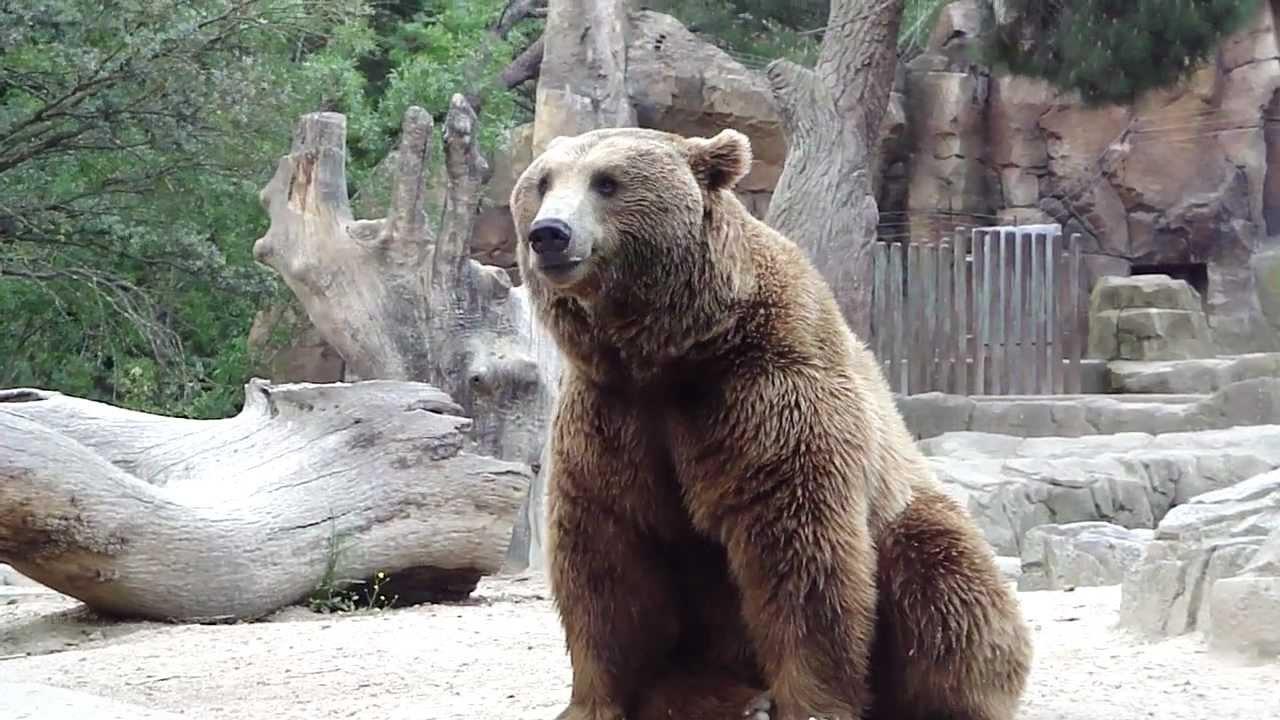 Oso pardo del Zoo de Madrid en la Casa de Campo