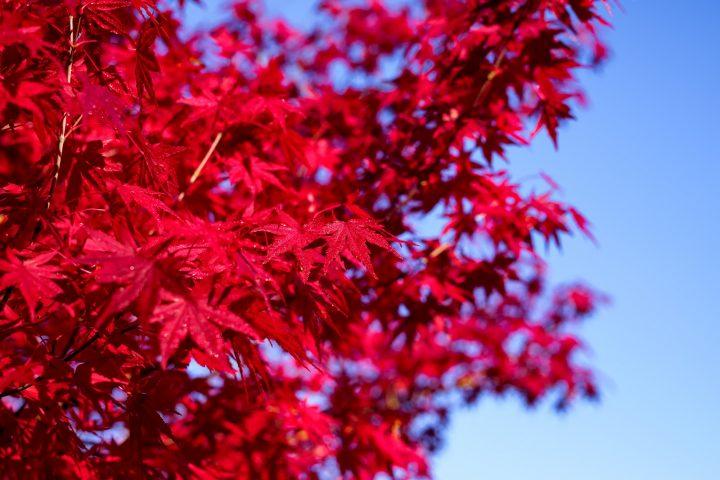 Acer palmatum o arce japonés: el árbol del otoño