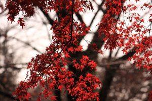 Acer palmatum o arce japonés - AVANT Servicios Jardinería en Madrid