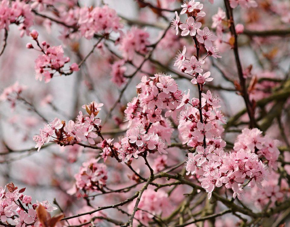 El almendro, un árbol con mucho valor
