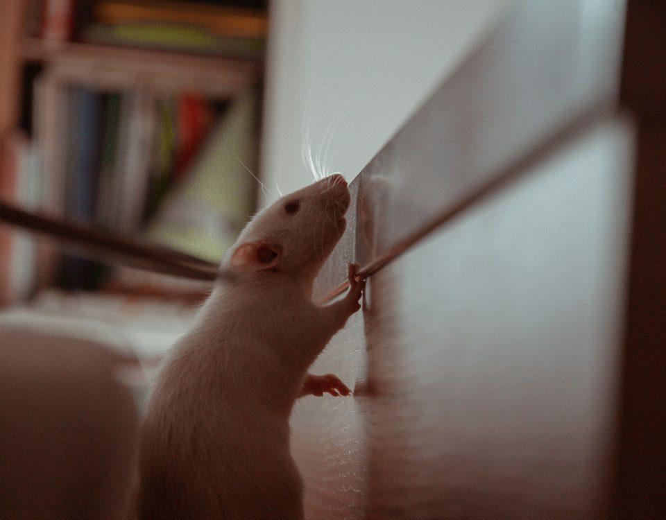 Plagas de animales ratas ratones