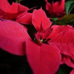 La Flor de Pascua. Una planta con los colores de la Navidad