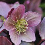 El heléboro, una planta que florece en invierno