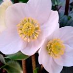 El Heléboro. La flor del invierno o Rosa de Navidad