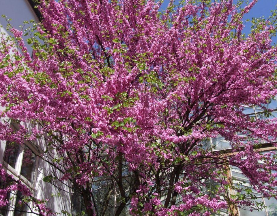 El Árbol del Amor. Una explosión de color rosa en sus ramas
